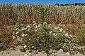 Tripleurospermum inodorum kz01.jpg