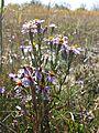 Tripolium pannonicum sl5.jpg