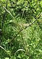 Trisetum flavescens kz01.jpg