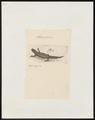 Triton gesneri - 1700-1880 - Print - Iconographia Zoologica - Special Collections University of Amsterdam - UBA01 IZ11400125.tif