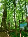 Tsar-oak in Starae Ramatava, Brest Region, Belarus.jpg