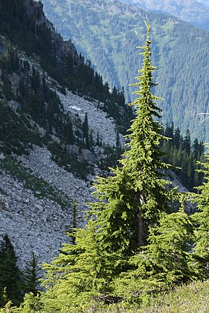 Tsuga mertensiana - Mountain hemlock in  Henry M. Jackson Wilderness, Washington
