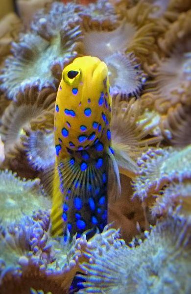 File:Tubular Fish Hiding (17878804525).jpg