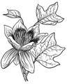 Tulip Tree (PSF).png
