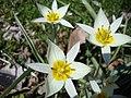 Tulipa turkestanica (2).jpg