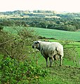 Tup in field at Boughton Malherbe, Kent.jpg