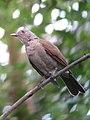 Turdus leucomelas Mirla buchiblanca Pale-breasted Thrush (16319553161).jpg