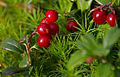 Tyttebær (1373787850).jpg
