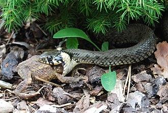 Grass snake - Eating Bufo bufo (Czech Republic)