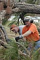 US Navy 041005-N-4204E-007 Commanding Officer, Center for Naval Aviation Technical Training (CNATT), Capt. Carl R. Mock, reaches to cut off a branch from one of the massive pines trees obstructing the pathway of the fitness tra.jpg