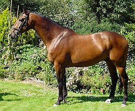 KWPN paard, Dutch Warmblood
