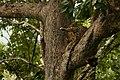 Uday Kiran Leopard BR Hills-9.jpg