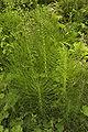 Unidentified Equisetum, Maramures.jpg