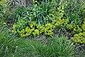 Unidentified Euphorbia 8-002.JPG