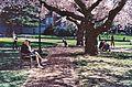 University of Washington Quad cherry blossoms 2012.jpg