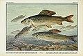 Unsere Süßwasserfische (Tafel 25) (6103146412).jpg