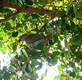 Urocolius indicus, in vyeboom, Pretoria.jpg