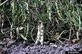 Uromyces appendiculatus, telia, 5363950.jpg