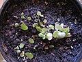 Utricularia tricolor.jpg