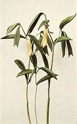 Uvularia sessilifolia WFNY-020A.jpg