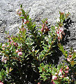 Vaccinium floribundum, the South American Blueberry (9682600716).jpg