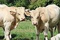 Vaches à Mailleroncourt-Saint-Pancras en 2013 3.jpg