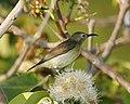 Van Hasselt's Sunbird (Leptocoma brasiliana) - Flickr - Lip Kee (3).jpg