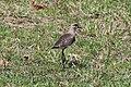 Vanellus chilensis (30669106745).jpg