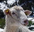 Vanoise National Park - sheep.jpg