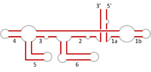 VS ribozyme - Secondary structure of VS ribozyme. Loops numbered, with base-paired helices in red.