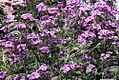 Verbena canadensis Flamingo Border Pink 2zz.jpg