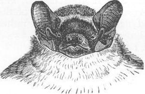 Lesser noctule - Image: Vesperugo leisleri ras