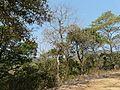 Vet-palai (Tamil- வெட்பாலை) (3272430104).jpg