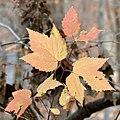 Viburnum acerifolium (30486660774).jpg