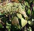 Viburnum betulifolium - Quarryhill Botanical Garden - DSC03713.JPG