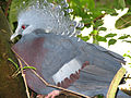 Victoria Crowned Pigeon Goura victoria National Aviary 2816px.jpg
