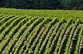 Vineyard near Hallgarten 20121009 1.jpg