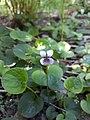 Viola palustris (20190531) 1.jpg