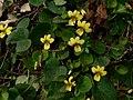Viola sempervirens 38692.JPG