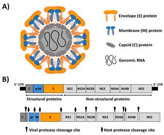 <i>Flaviviridae</i> Family of viruses
