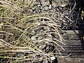 Vulpia myuros sl23.jpg