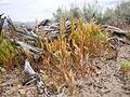 Vulpia octoflora (23521143915).jpg