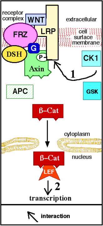 "Wnt signaling pathway - Figure 2. Wnt binds to (activates) the receptor. Axin is removed from the ""destruction complex."" β-Cat moves into the nucleus, binds to a transcription factor on DNA, and activates transcription of a protein. ""P"" represents phosphate."