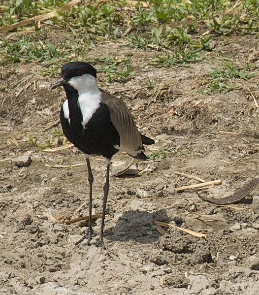 File:Wading Bird (5065172061).jpg