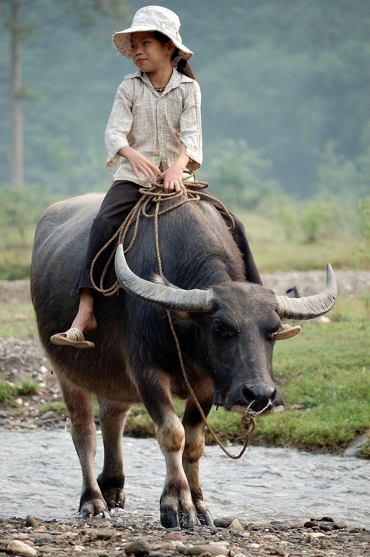File:Walking the water buffalo.jpg - Wikimedia Commons
