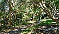 Walking track and mangroves in Kooloonbung Creek Nature Park, Port Macquarie NSW.jpg