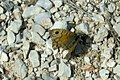 Wall brown (Vol) (35079510684).jpg