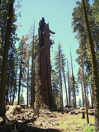Washington (tree) - Washington Tree (July 2007)