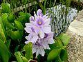 Water hyacinth aguapé.jpg