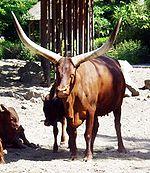 Watusi cattle - Watussirind.jpg